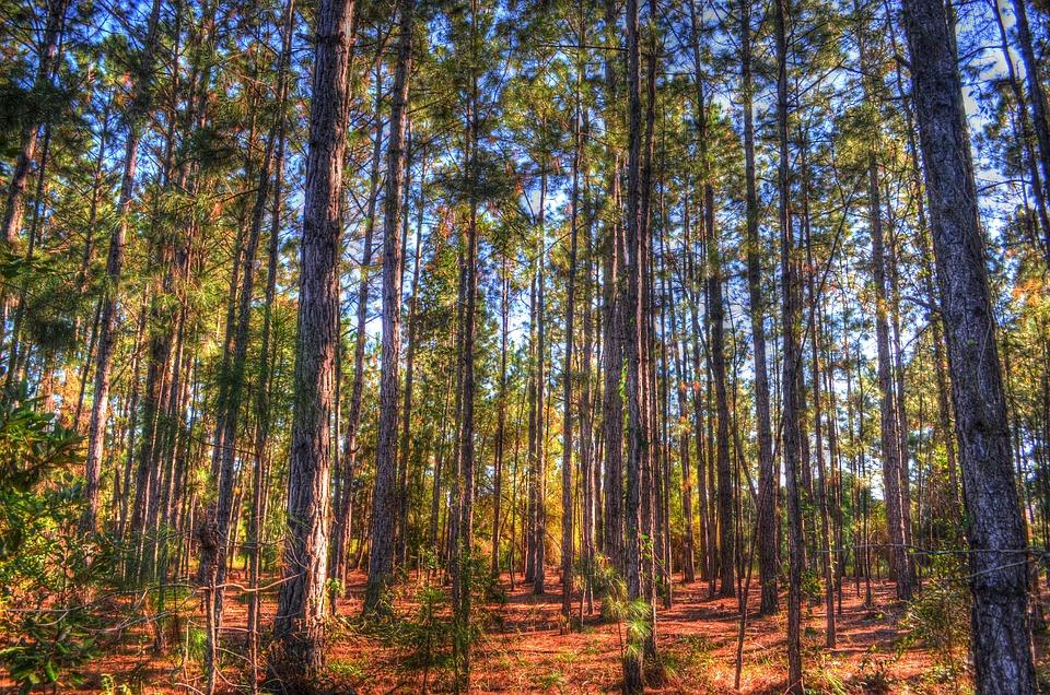 Trees, Pines, Pine Trees, Sun, Pine Needles