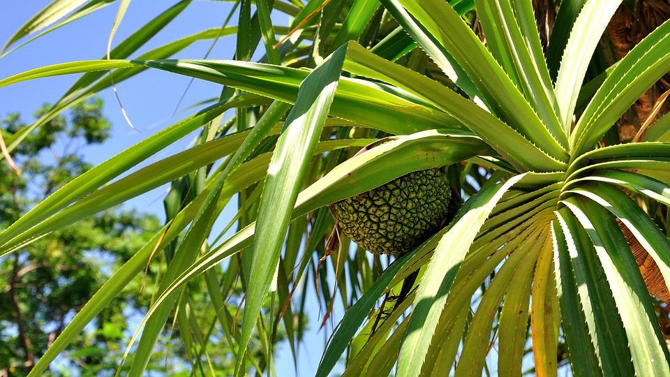 Tropical Plants, Pineapple, Blue Sky