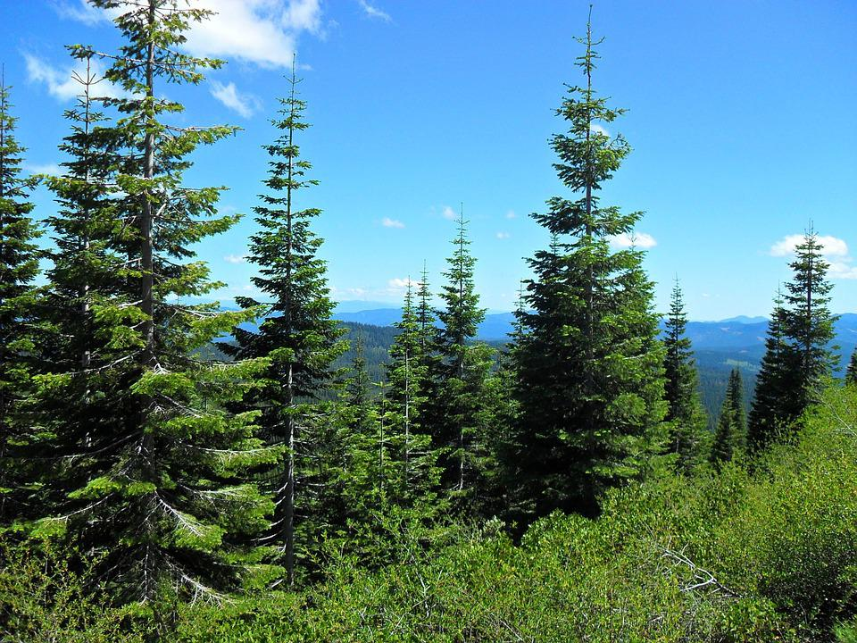 Forest, Pines, Sky, Blue, Green, Scenic, Wood, Mountain