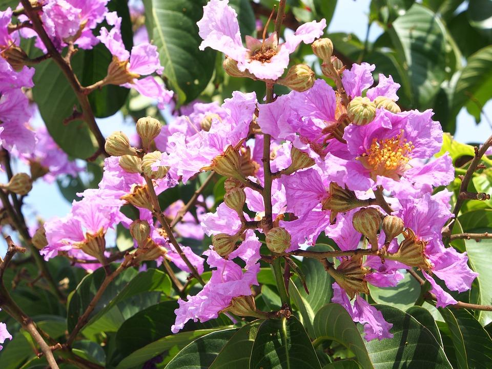 Big Flower, Crape Myrtle, Pink And Purple, Taipei