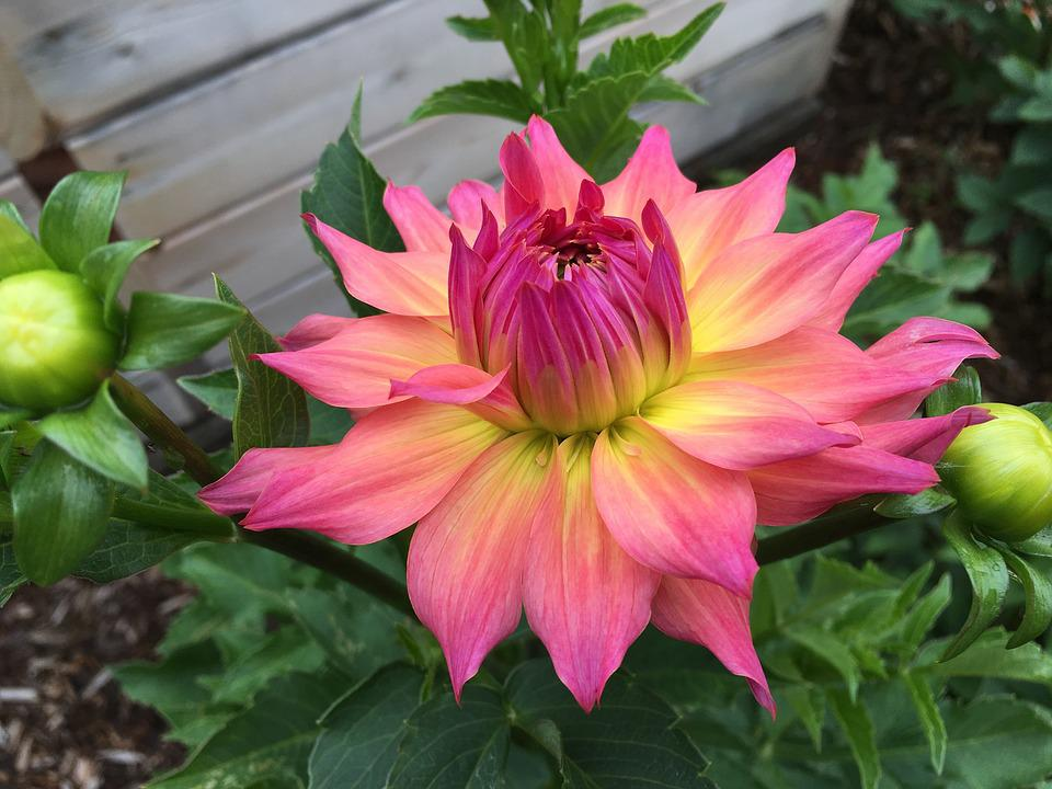 Dahlia, Just Peachy, Pink And Yellow, Garden, Flower