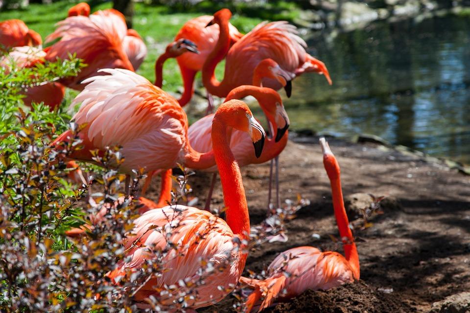 Flamingos, Animal, Pink, Bird, Exotic, Feather, Nature