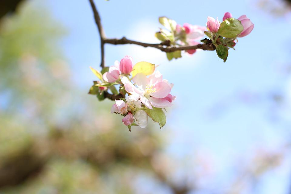 Apple, Apple Tree, Pink, Branch, Fruit, Blossom