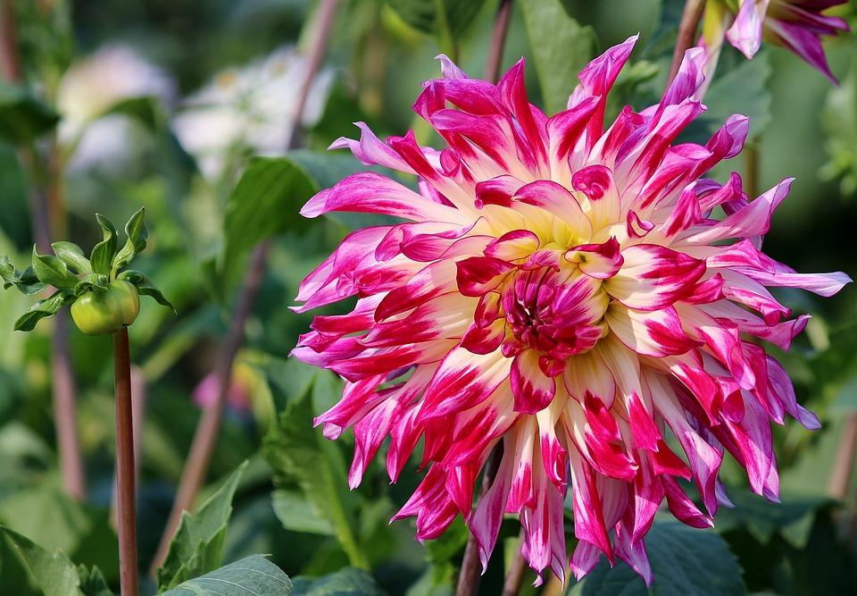 Aster, Flower, Blossom, Bloom, Plant, Pink, Petals
