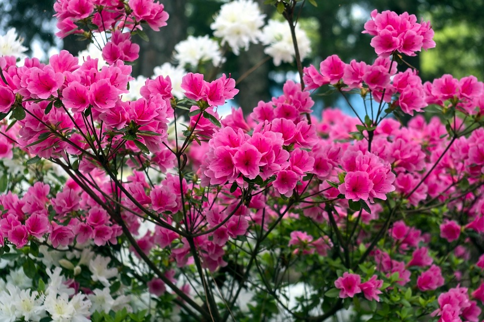 Pink Azaleas In The Ozarks, Blossoms, Azalea, Bloom