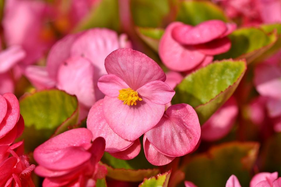 Begonias, Flowers, Pink Begonias, Petals, Pink Petals