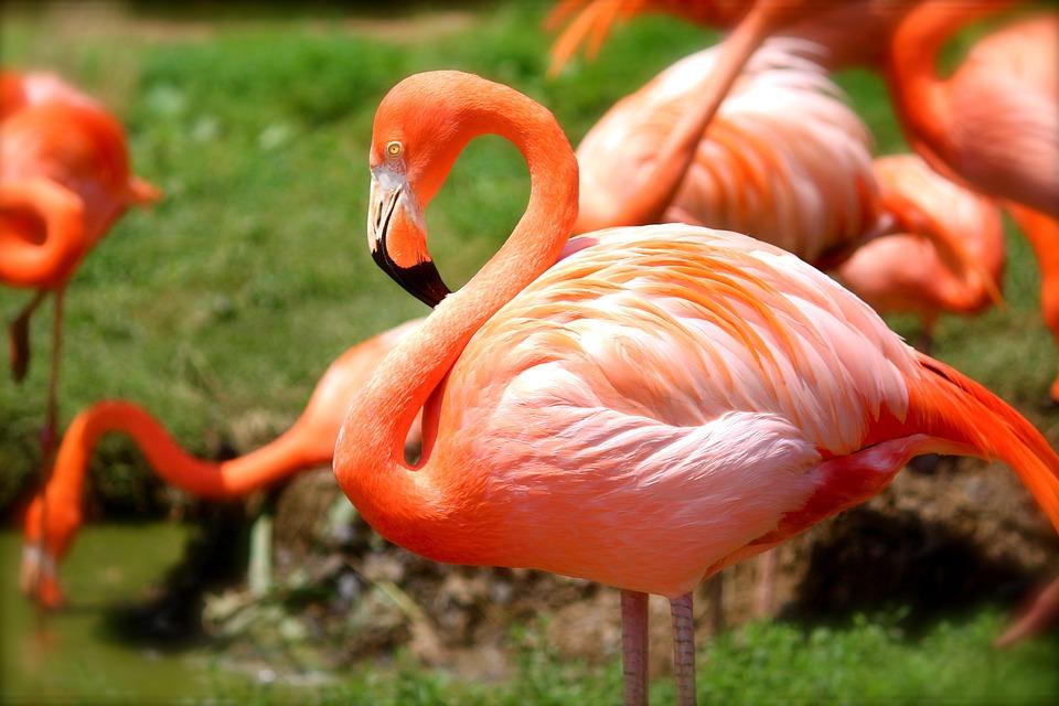Flamingo, Bird, Pink, Nature, Animal, Wildlife, Wild