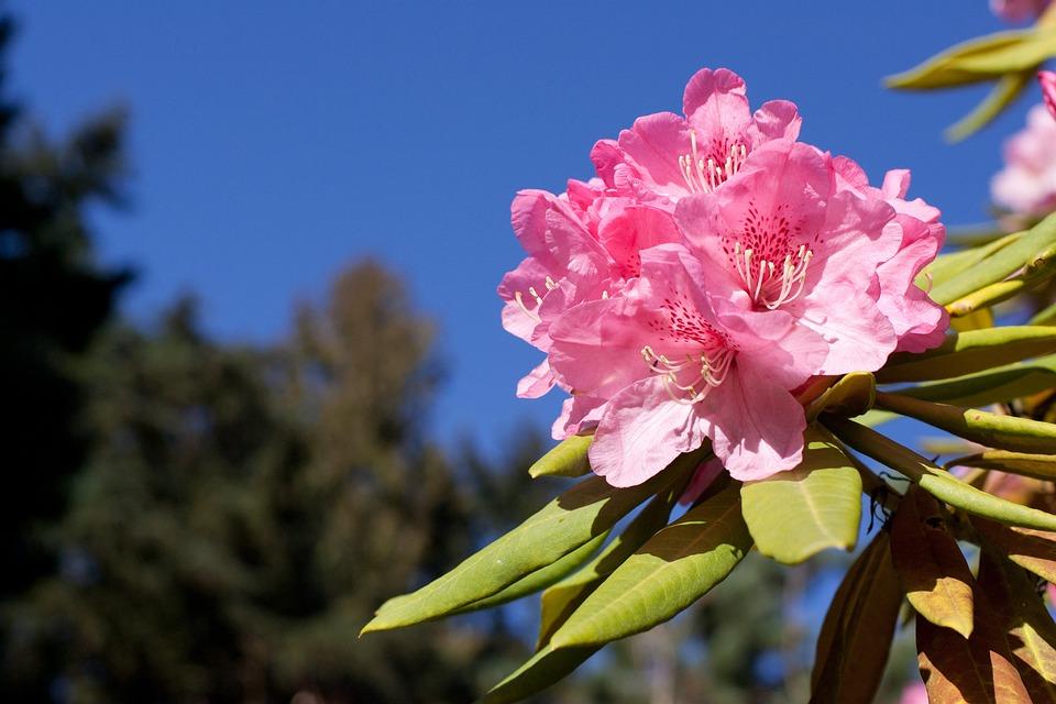 Rhododendron, Pink, Bloom, Flower, Spring, Blooming