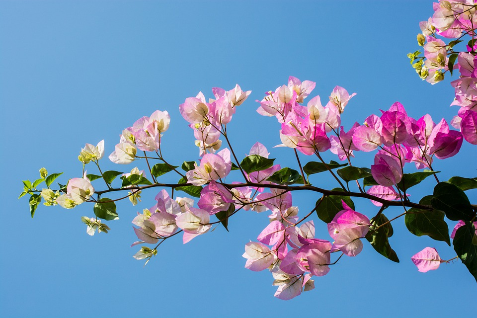 Blossom, Bloom, Flower, Pink, Close