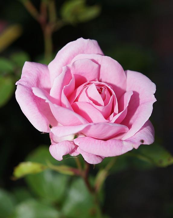 Rose, Blossom, Bloom, Rose Bloom, Pink, Fragrance