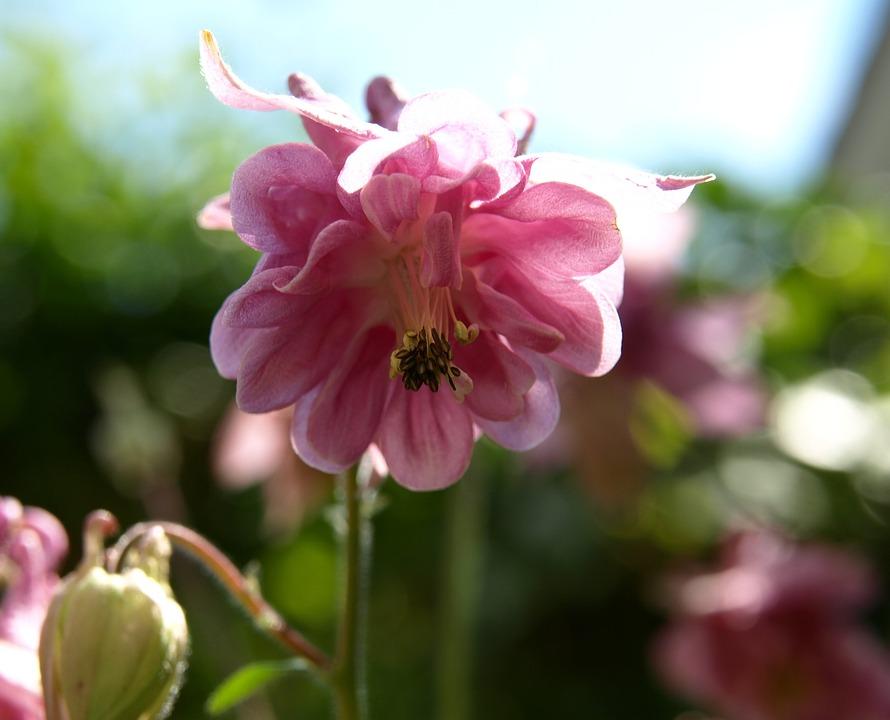 Blossom, Bloom, Pink, Wild Flower, Close