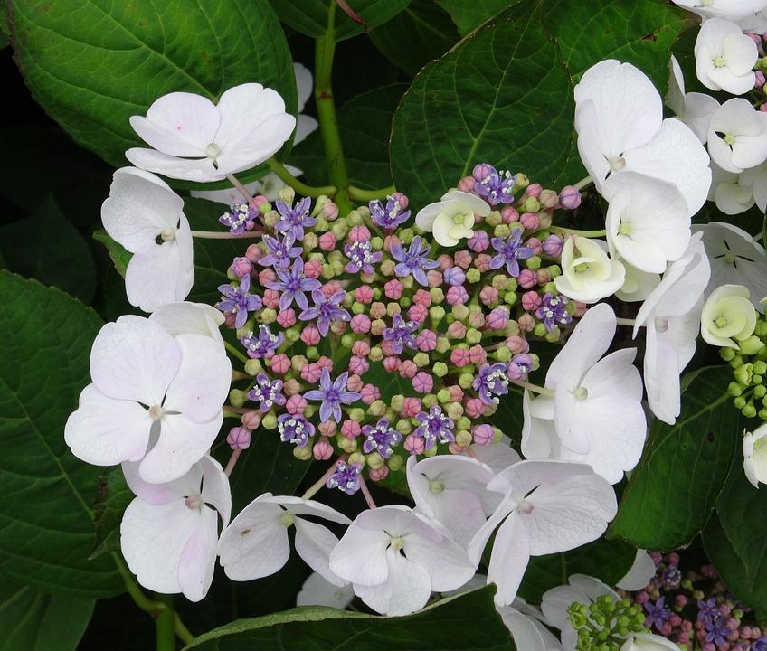 Blossom, Bloom, Hydrangea, Close, White, Blue, Pink