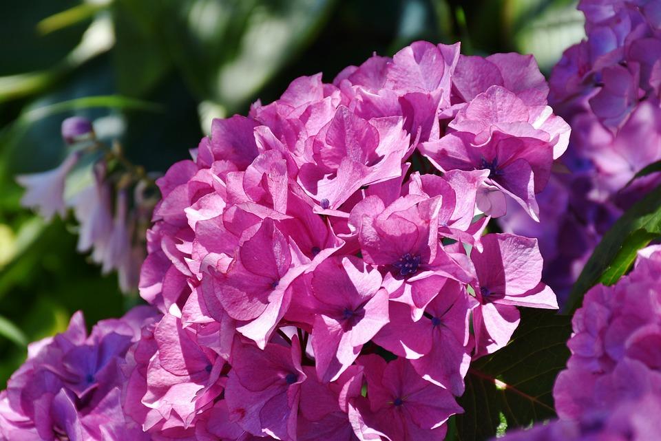Hydrangea, Flower, Summer, Pink, Blossom, Bloom
