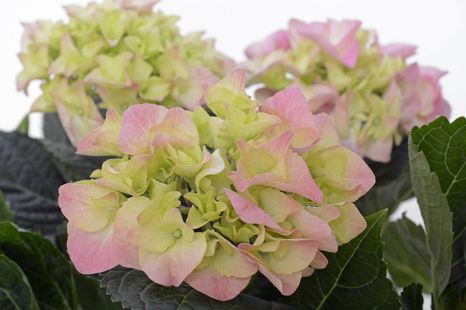 Hydrangea, Flower, Blossom, Bloom, Summer, Pink, Green