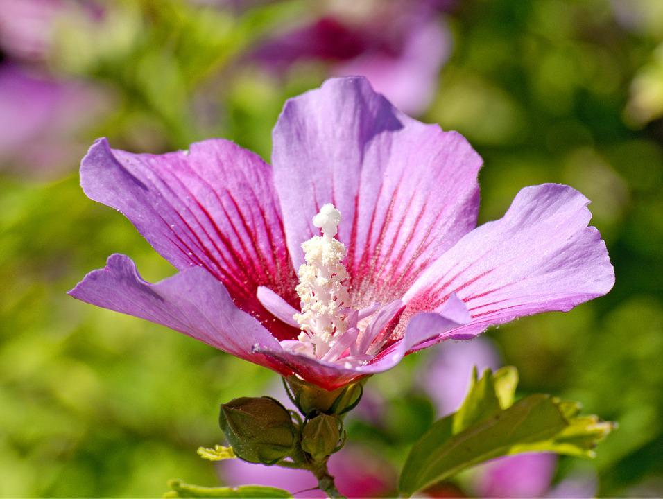 Hibiscus Flower, Blossom, Bloom, Hibiscus, Pistil, Pink
