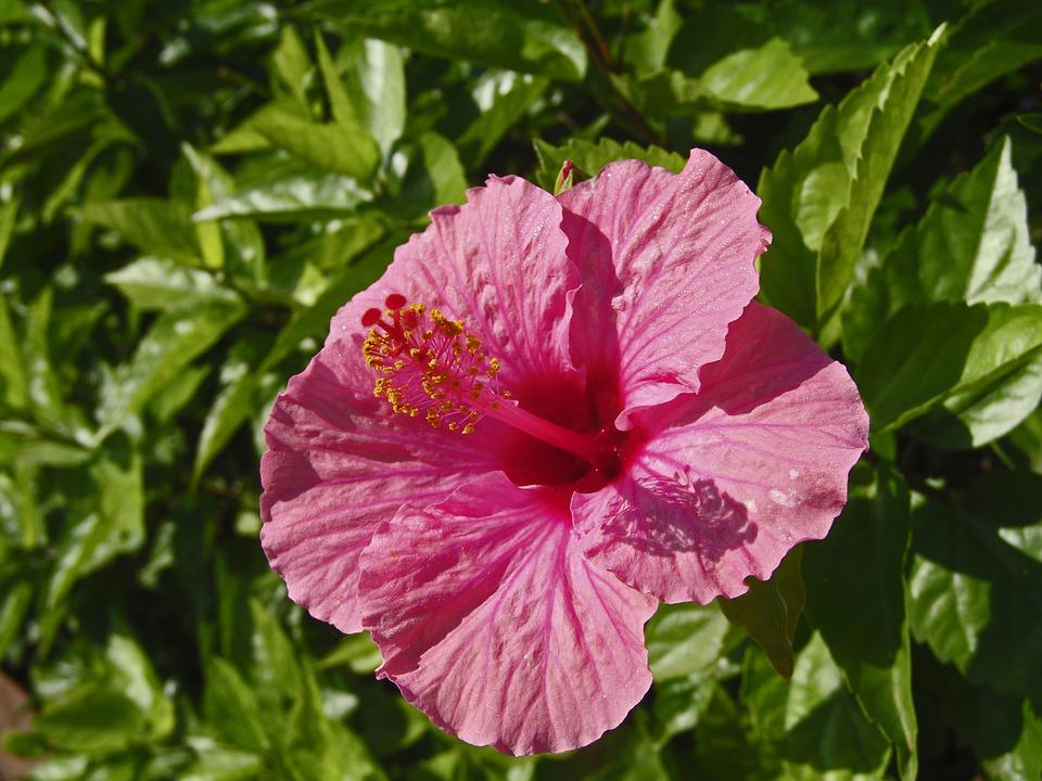 Hibiscus, Plant, Nature, Pink, Blossom, Bloom, Flower