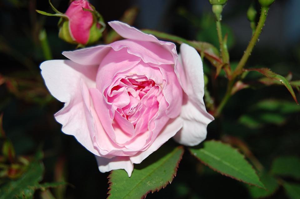Lady Salisbury Rose, Rose, Pink, Blossom, Bloom, Petals