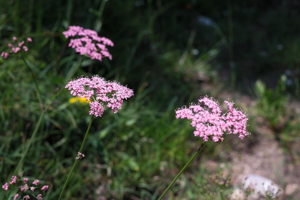 Yarrow, Blueme, Blossom, Bloom, Pink