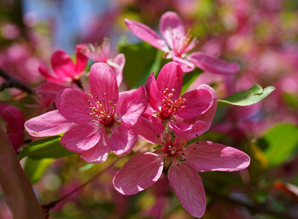 Cherry Blossoms, Flowers, Pink, Branches, Blossom