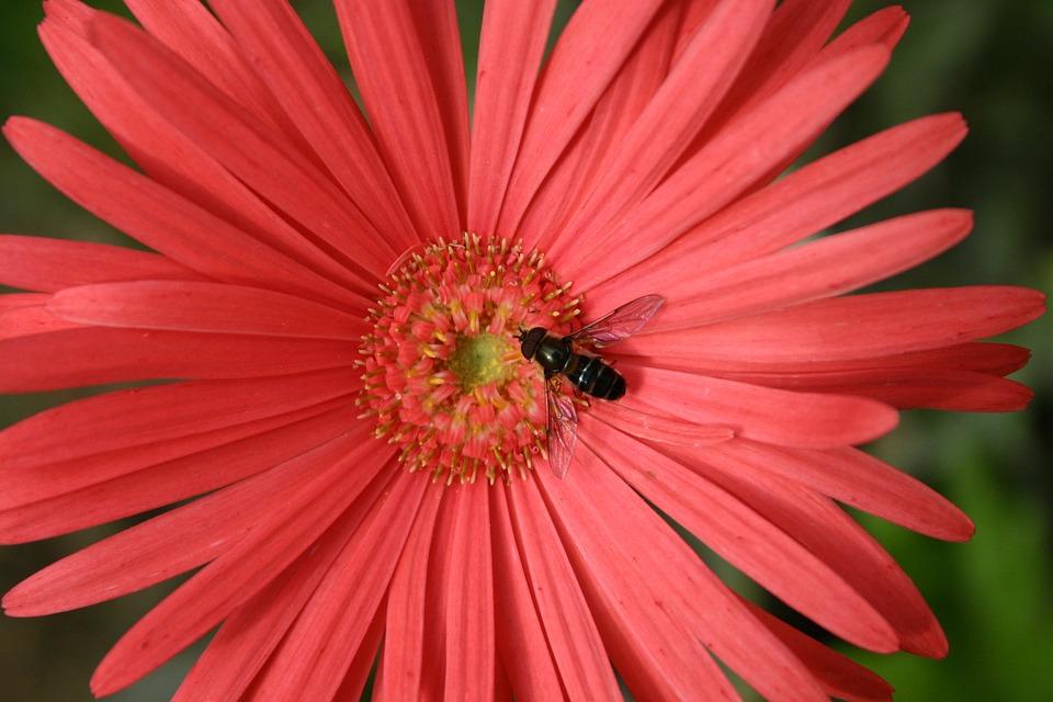 Flower, Gerbera, Bee, Fly, Blossom, Pink, Petals