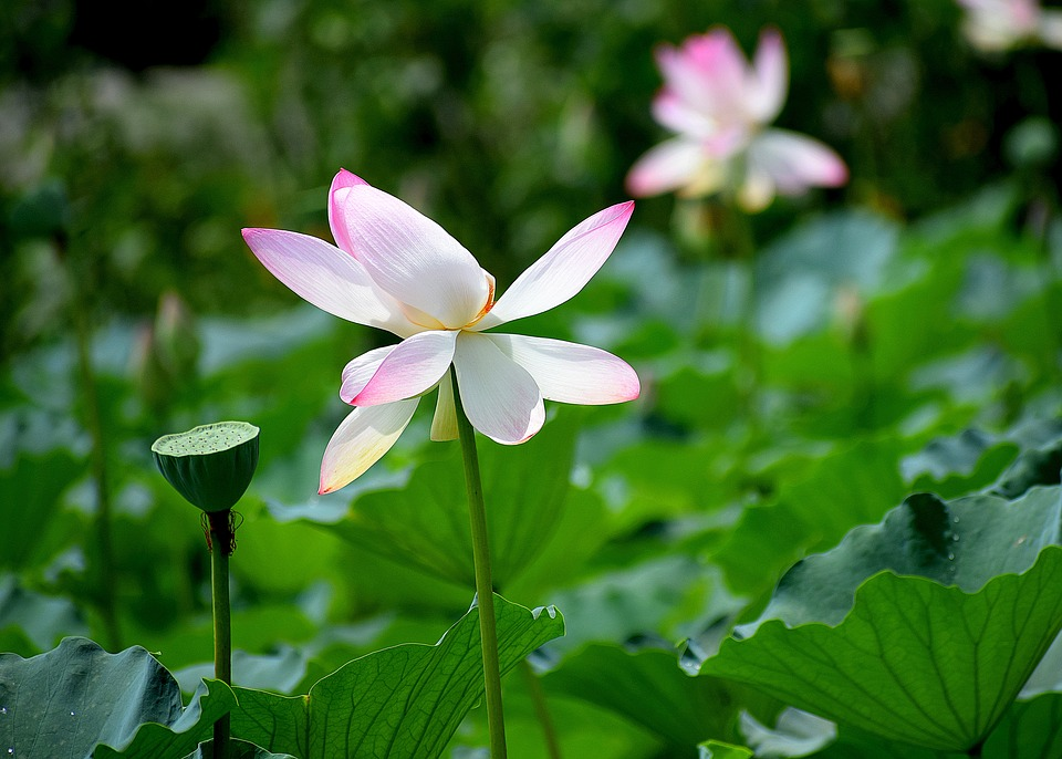Lotus, Flowers, Nature, Pink, Pond, Blossom, Peace