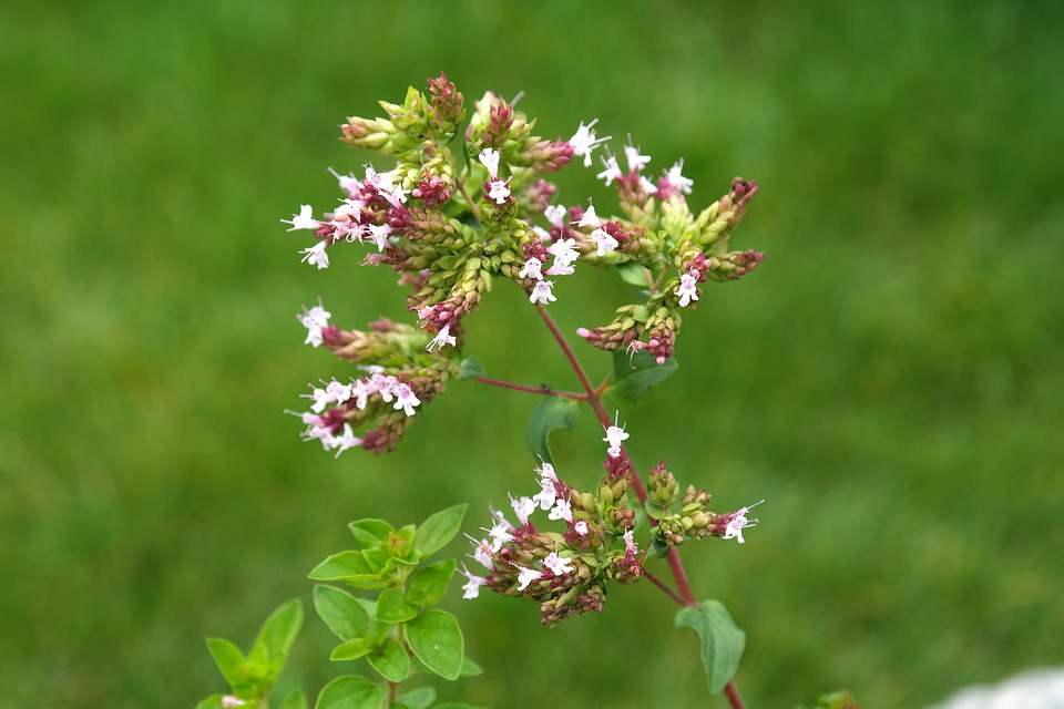 Oregano, Plant, Blossom, Bloom, Inflorescence, Pink