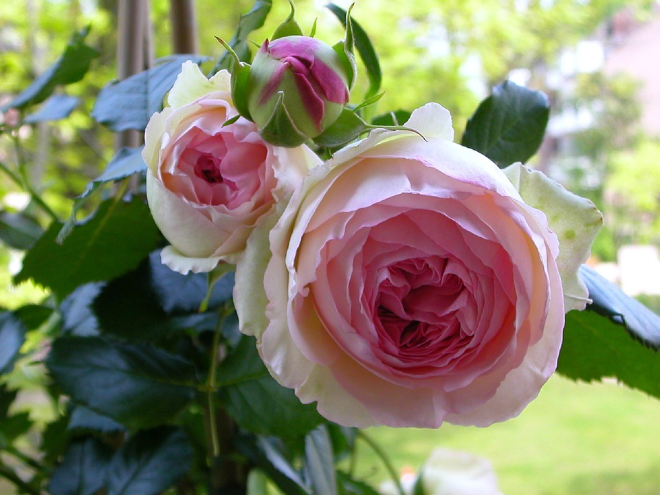 Rose, Blossom, Bloom, Pink