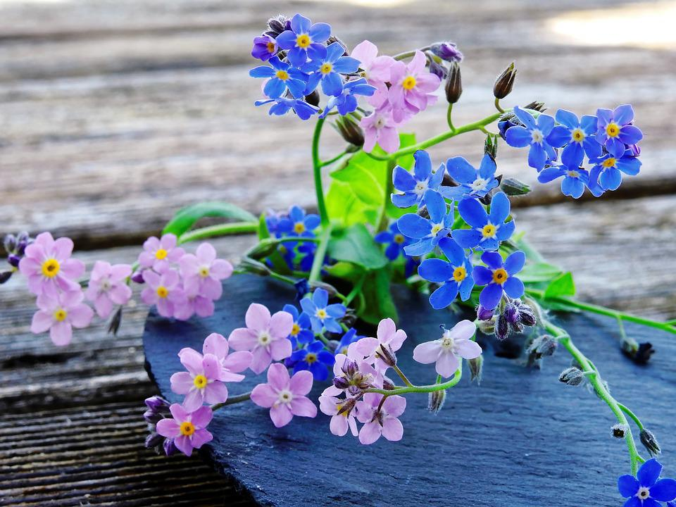 Free photo pink blue pointed flower forget me not flowers max pixel forget me not flowers blue pink pointed flower mightylinksfo