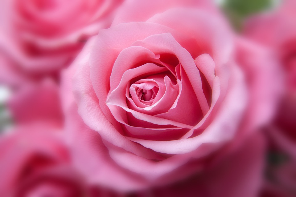 Roses, Pink, Flora, Plant, Tender, Blur, Blured, Sharp
