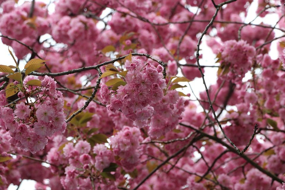 Cherry Blossom, Bonn, Pink, Spring, Blossom, Cherry