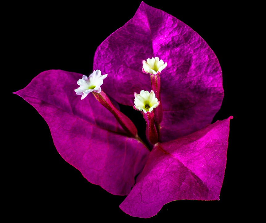 Bougainvillea, Blossom, Bloom, Flower, Pink