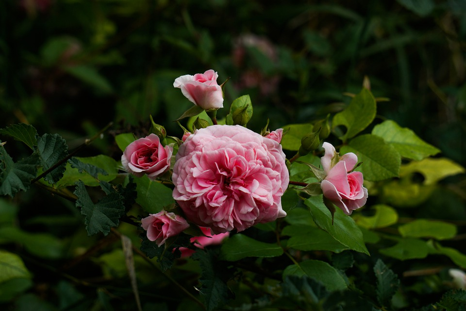 Pink, Roses, Flowers, Spring, Nature, Bouquet, Love