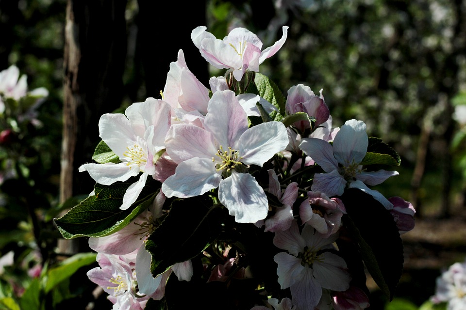 Apple Blossom, Apple Tree, Pink, Branch, White, Leaves