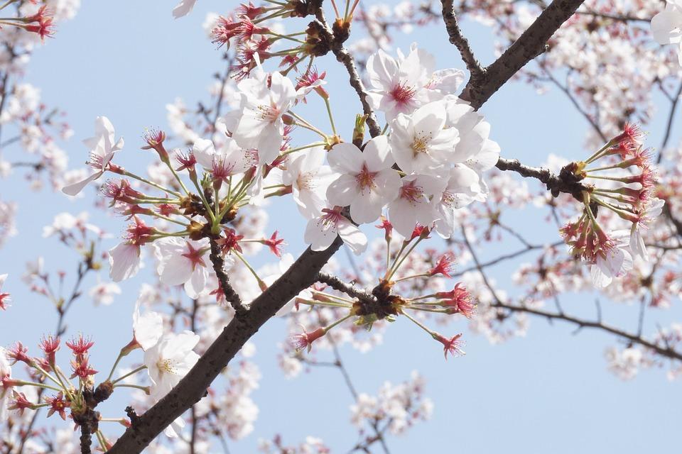 Cherry Blossom, Spring, Bright, Peach Blossom, Pink