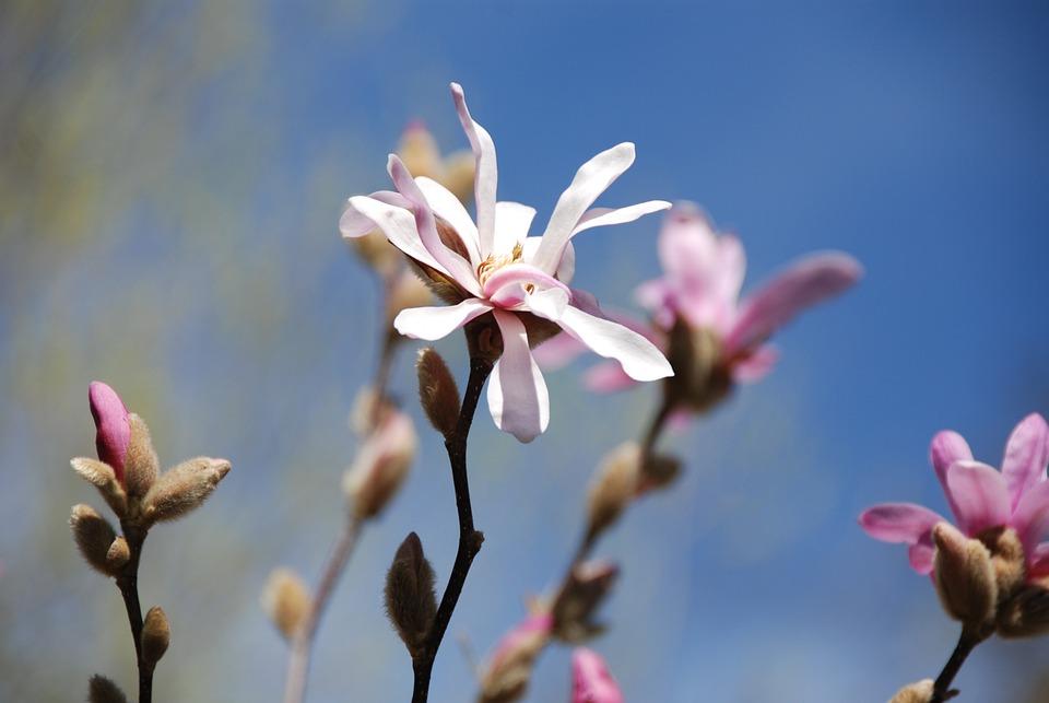 Magnolia, Flowers, Bud, Pink, Spring