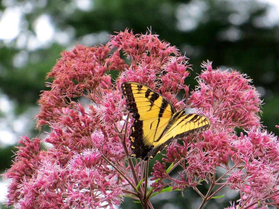 Joe Pye Weed, Butterfly, Flowers, Yellow, Pink
