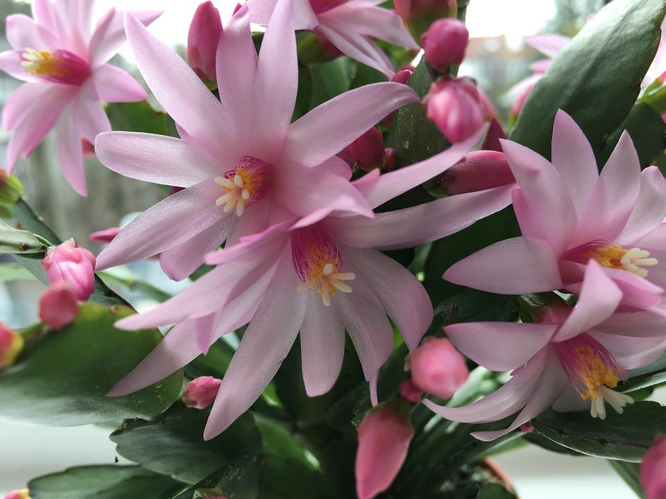 Cactus Flowers, Cactus, Flower, Nature, Pink, Cacti