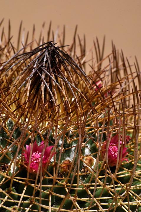 Cactus, Pink, Succulent, Plant, Bloom, Nature, Prickly