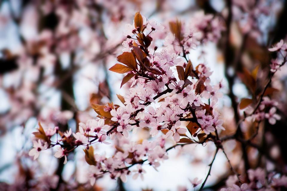 Cherry Blossom, Tree, Flowers, Almond Blossom, Pink