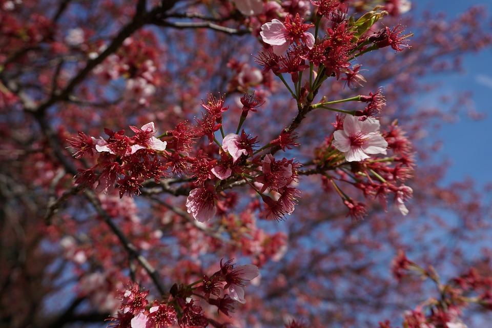 Cherry Blossom, Sakura, Japan, Pink, Tree, Japanese