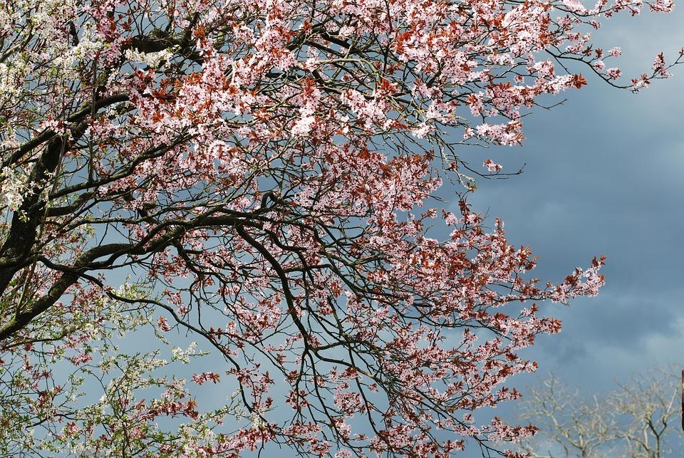 Cherry, Blossom, Cherry Blossom, Tree, Spring, Pink