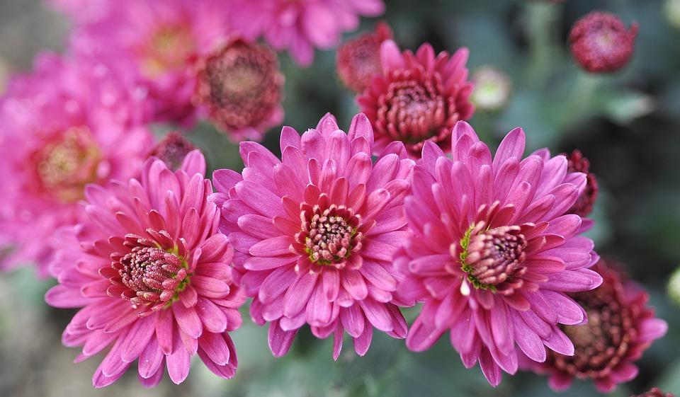 Pink, Chrysanthemum, Flower