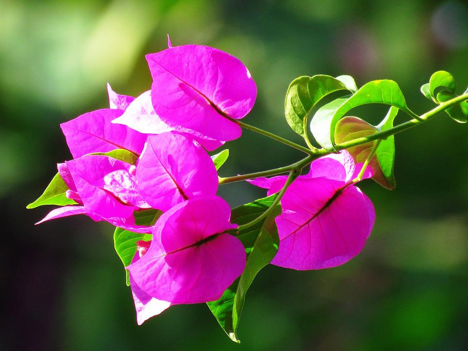 Flower, Pink, Close Up