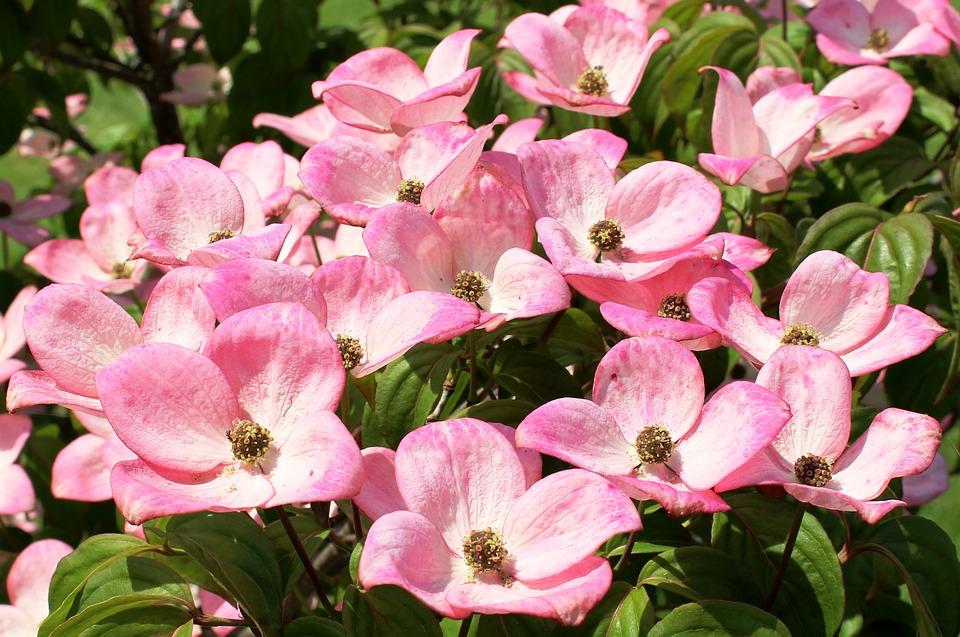 Dogwood, Flowers, Pink, Cornus, Cornus Kousa