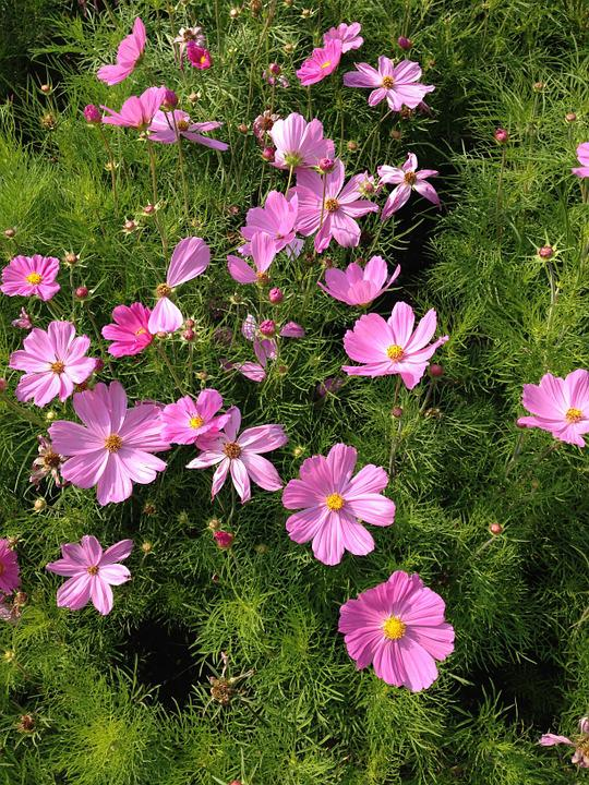 Flower, Pink, Cosmos, Nature, Floral, Garden, Natural