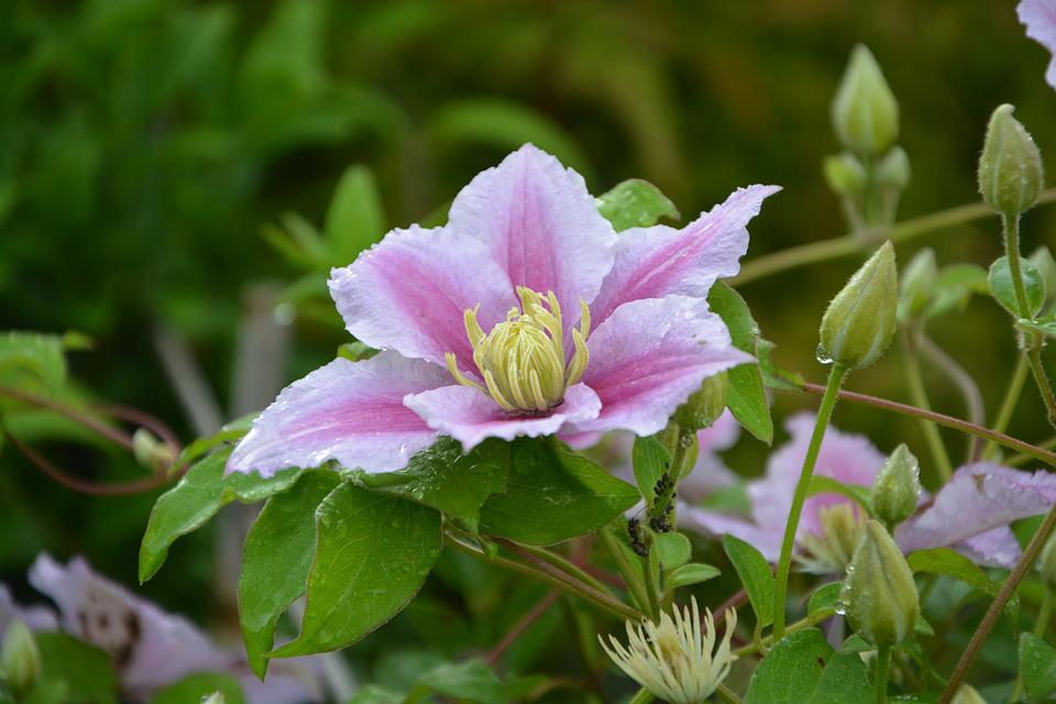Free Photo Pink Creeper Garden Flowers Flower White Clematis Max Pixel