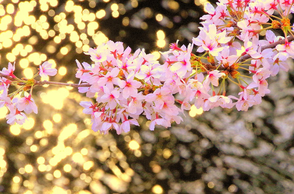 free photo pink cute flowers japan spring cherry wood  max pixel, Beautiful flower
