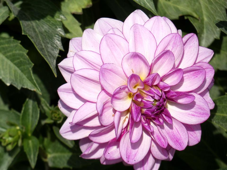 Dahlia, Pink, Purple, Flower, Asteraceae, Decorative