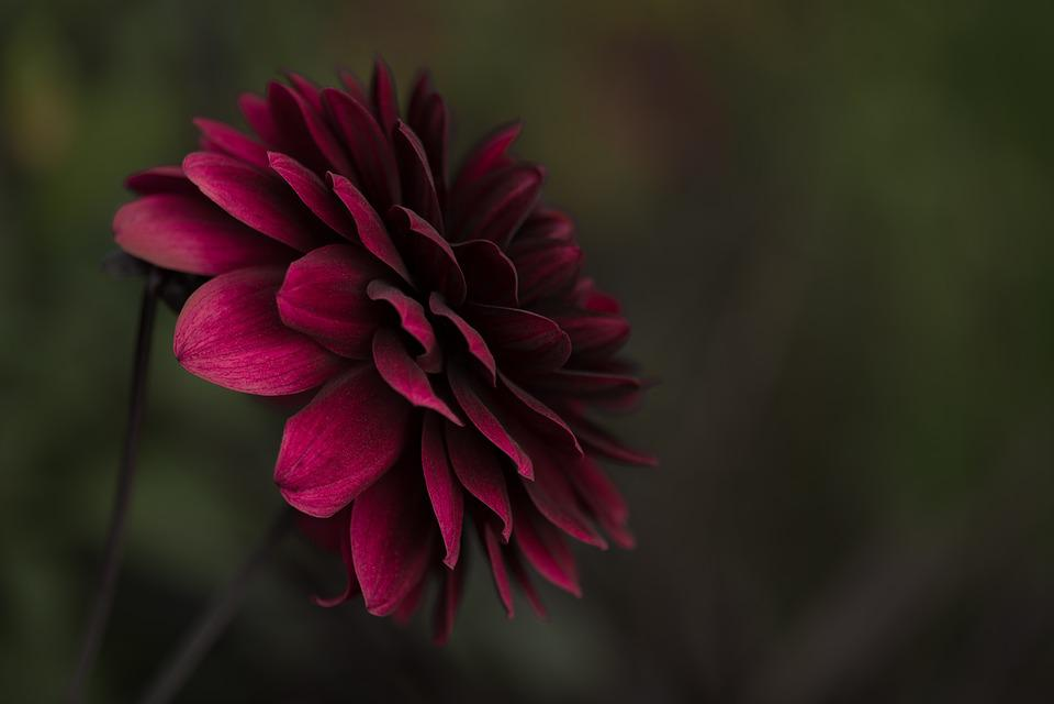 Dahlia, Pink, Flower, Pink Flower, Pink Dahlia