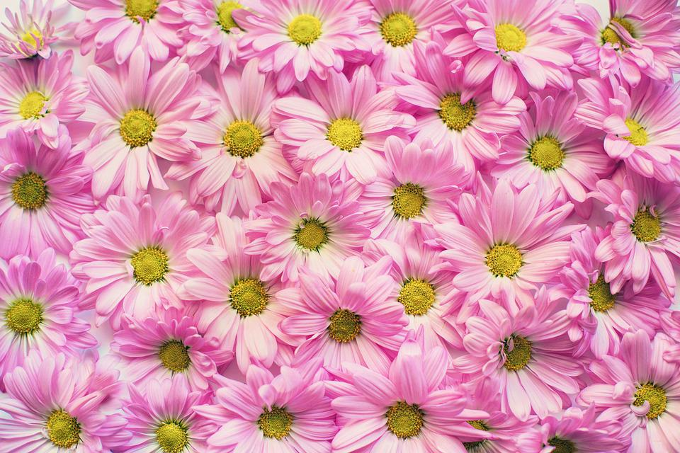 Pink Daisies, Flowers, Background, Backdrop, Copy Space